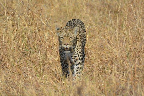 andBeyond Savute Under Canvas: Leopard