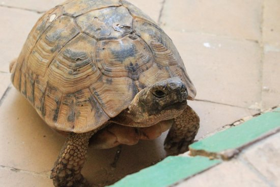 Riad La Cle de Fes: Hello tortoise :-)