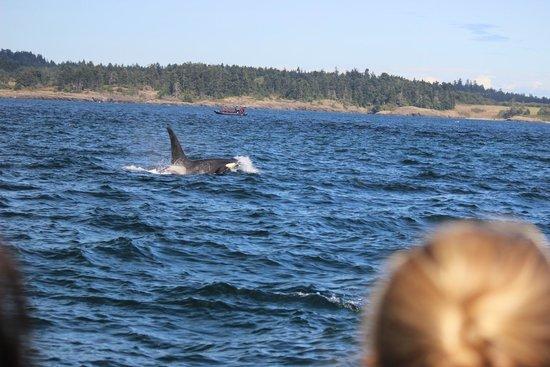 San Juan Safaris: Orca whale San Juan Island Safaris