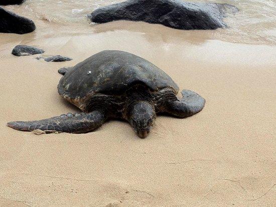 Laniakea Beach: Turtles basking