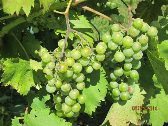 Sunset Meadow Vineyards: Grapes