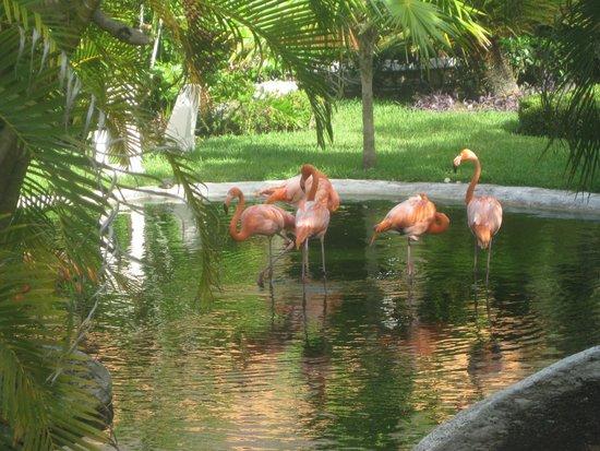 Iberostar Cozumel: flamingos live on the resort, stunning!