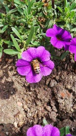 Centro Getty: amamos esta abelha entrando na flor, sugando seu nectar...