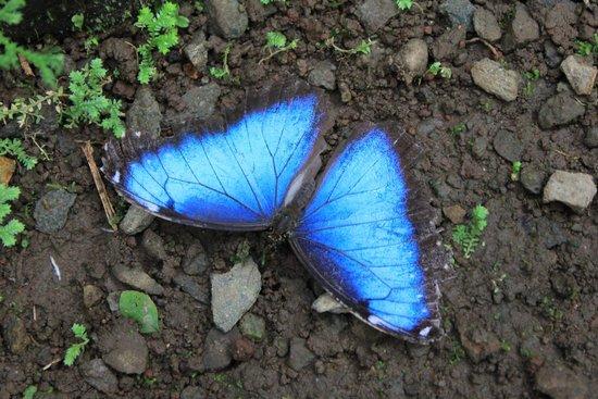 Butterfly Conservatory : Blue Morpho