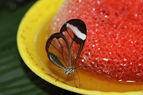 Butterfly Conservatory : Glasswing butterfly