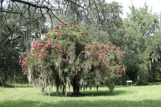 Magnolia Plantation & Gardens: Flowering Tree