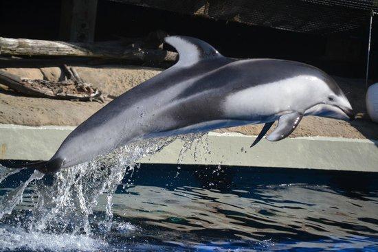 Vancouver Aquarium: The dolphin show