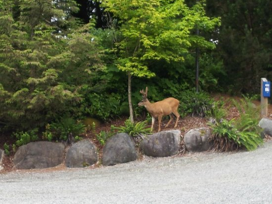 Water's Edge Shoreside Suites: Deer putting on a show at the parking lot