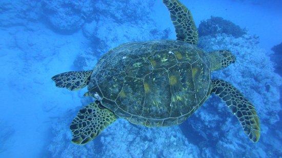 Bubbles Below: turtle, swimming