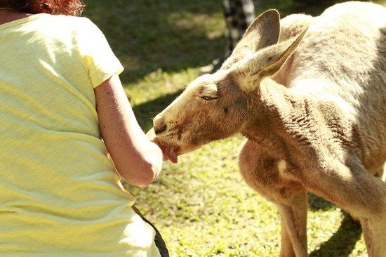 Lync-Haven Rainforest Retreat, Cabins, Camping & Wildlife Experience: Feeding the kangaroos