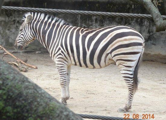 Taronga Zoo: Zebra