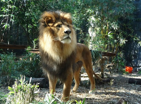 Taronga Zoo: The Lion