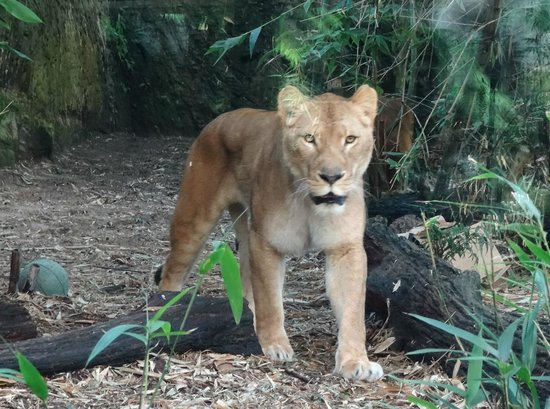 Taronga Zoo : Lioness