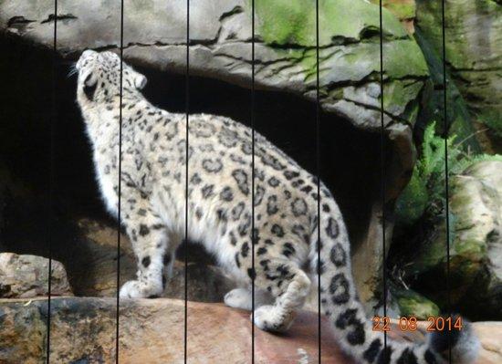 Taronga Zoo : Snow leopard