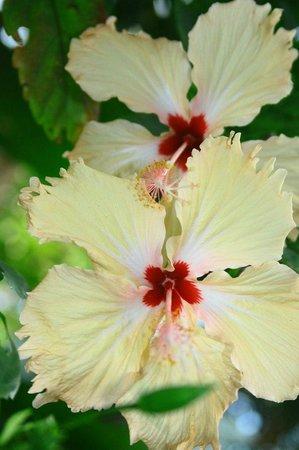 Star Holiday Resort : Это такие красивые цветочки на территории отеля и не только такие...