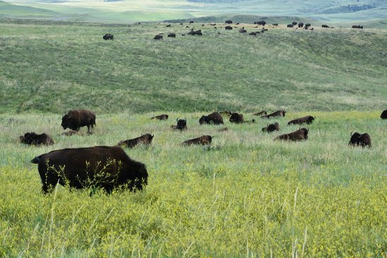 Custer State Park : I bisonti