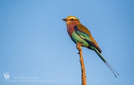 Molori Safari Lodge : Birding