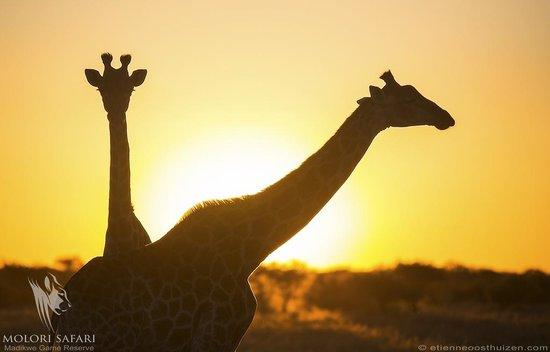 Molori Safari Lodge : Wildlife