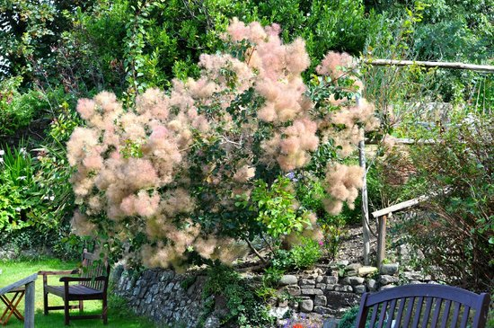 Stratton Gardens Guest House: The Smoke Tree that occupies the centre of the stunning stepped garden