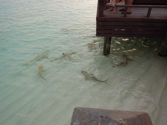 Sheraton Maldives Full Moon Resort & Spa: 6pm shark feeding at Anchorage Bar
