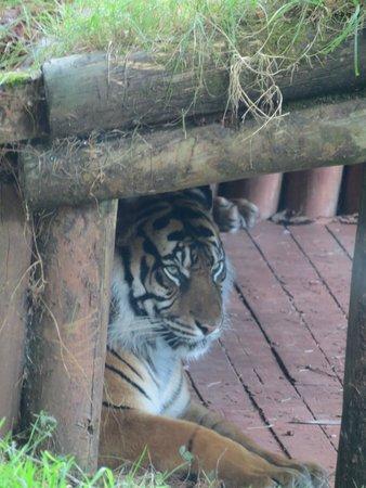 Paignton Zoo Environmental Park: Tiger Enclosure