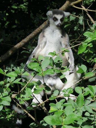 Paignton Zoo Environmental Park: Ring Tailed Lemur