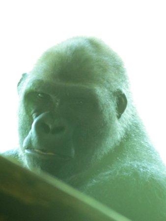 Paignton Zoo Environmental Park: Gorilla