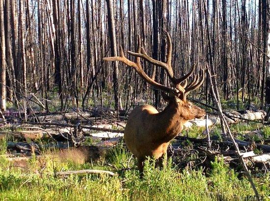Lake Lodge Cabins : Elk