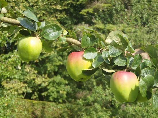 Parcevall Hall Gardens: Apples galore