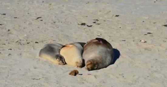 Kangaroo Island Hire a Guide: Leoni marini a Seal Bay