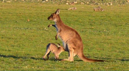 Kangaroo Island Hire a Guide: Kangurino con la mamma