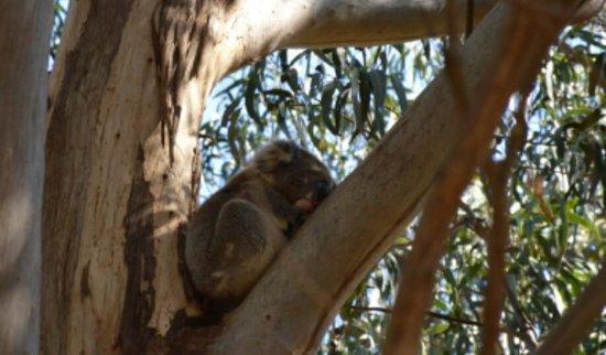 Kangaroo Island Hire a Guide: Koala su ramo