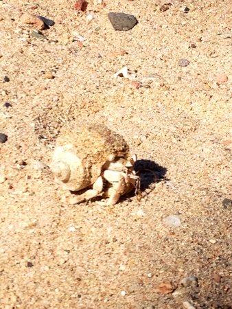 Kahramana Beach Resort : Paguro