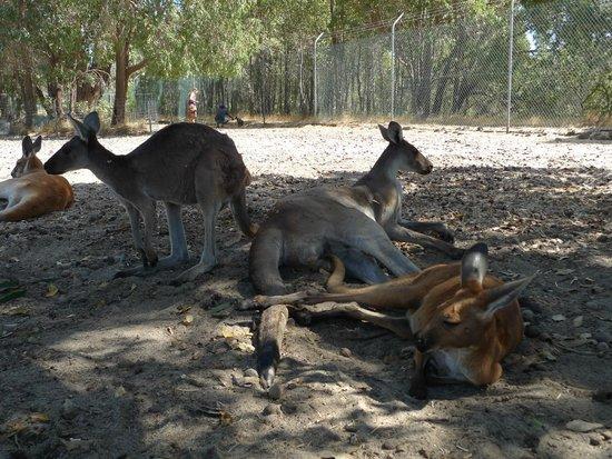 Cohunu Koala Park: Kangaroos lying around out of the sun