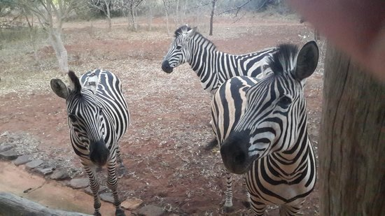 Leopard Walk Lodge : Zebras off the deck