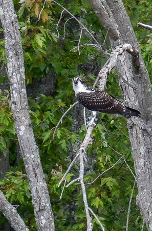 Connecticut River Expeditions - RiverQuest: Young Osprey. Mom & dad have left but they are stiil here for a bit longer now fending for thems