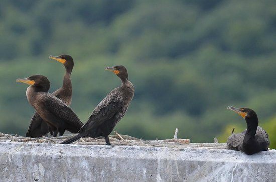 Connecticut River Expeditions - RiverQuest: Cormorants