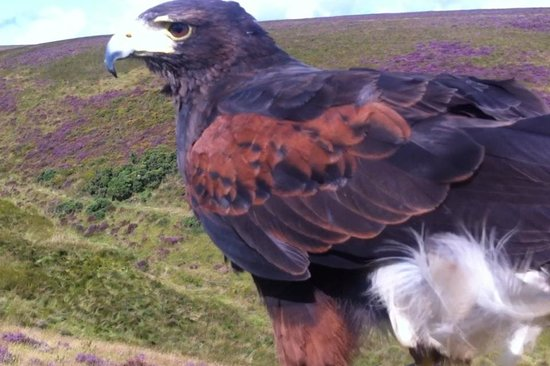 North Devon Hawk Walks: *