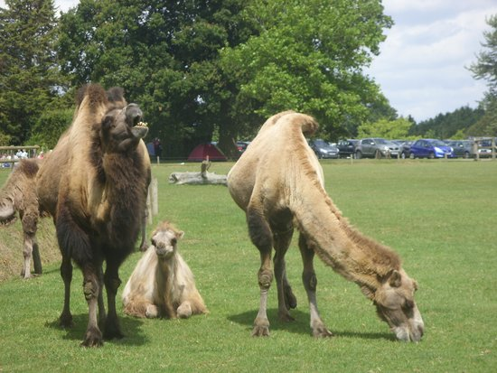 Cotswold Wildlife Park and Gardens: Who's got the hump