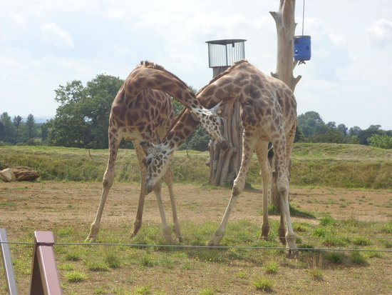 Cotswold Wildlife Park and Gardens: Is there a garaffe around here or me