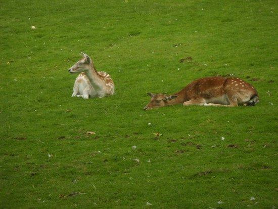 Prinknash Bird And Deer Park: Bambi
