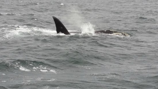 Hermanus Whale Cruises: barely saw the hump