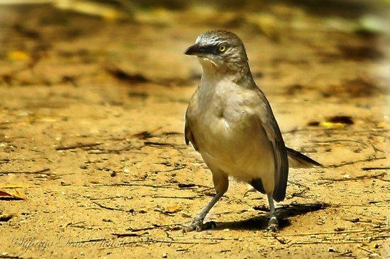 Thol Lake Bird Sanctuary: Large Grey Babbler
