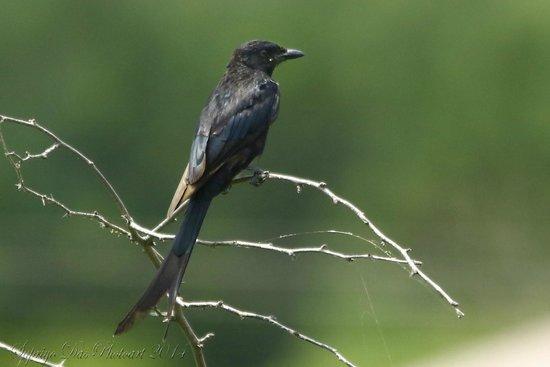 Thol Lake Bird Sanctuary: Drongo