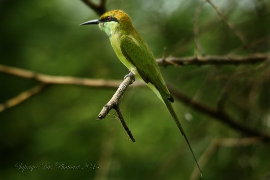 Thol Lake Bird Sanctuary: Bee Eater