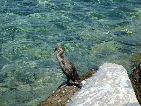 Vega Apartments: Cormorant at Tinos harbour