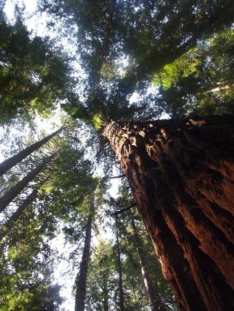 Redwoods, Whakarewarewa Forest: reaching the skys