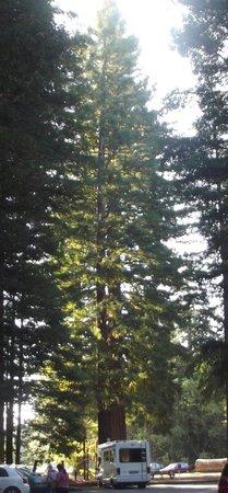 Redwoods, Whakarewarewa Forest: quite big
