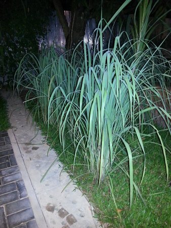 Chamkar: Lemon grass plants