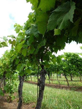 Jost Vineyards: Vines